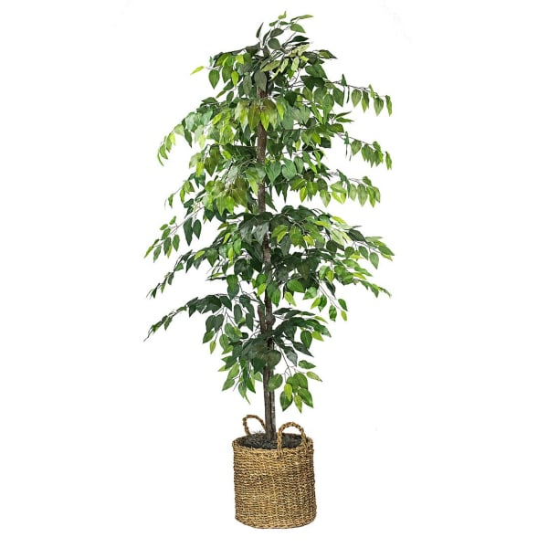 Ficus Tree in Basket