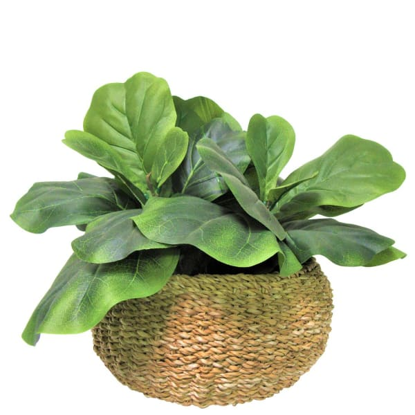 Fig in Low Basket Planter