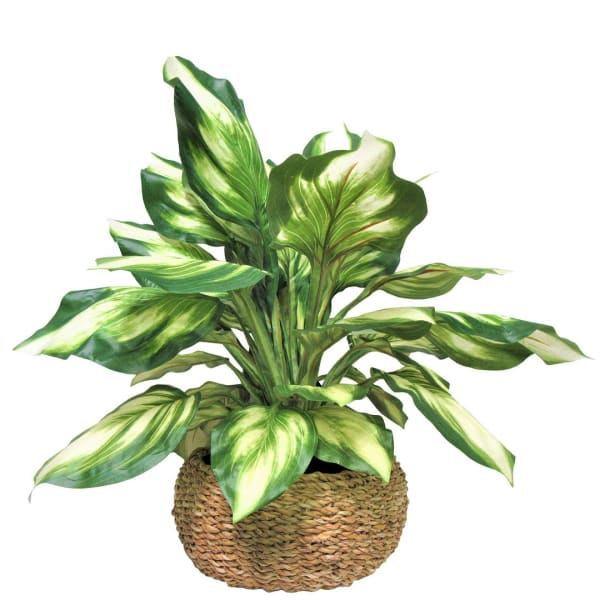 Hosta in Low Basket Planter