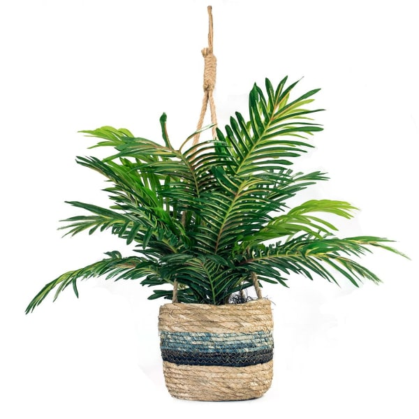 Phoenix Palm in Hanging Basket