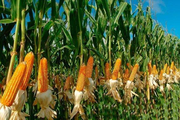 Как садить сладкую кукурузу