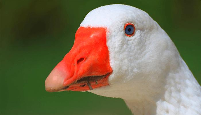 К чему снится белые гуси