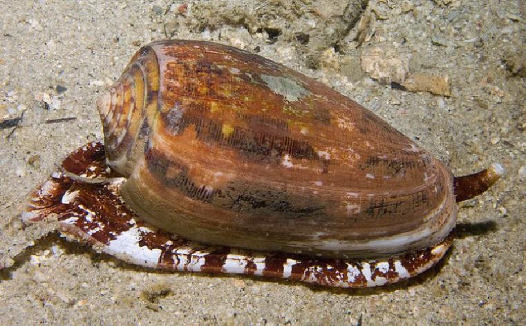 Predatory snails marine