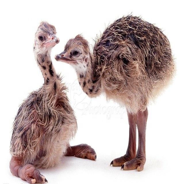 Купить птенцов страуса цена