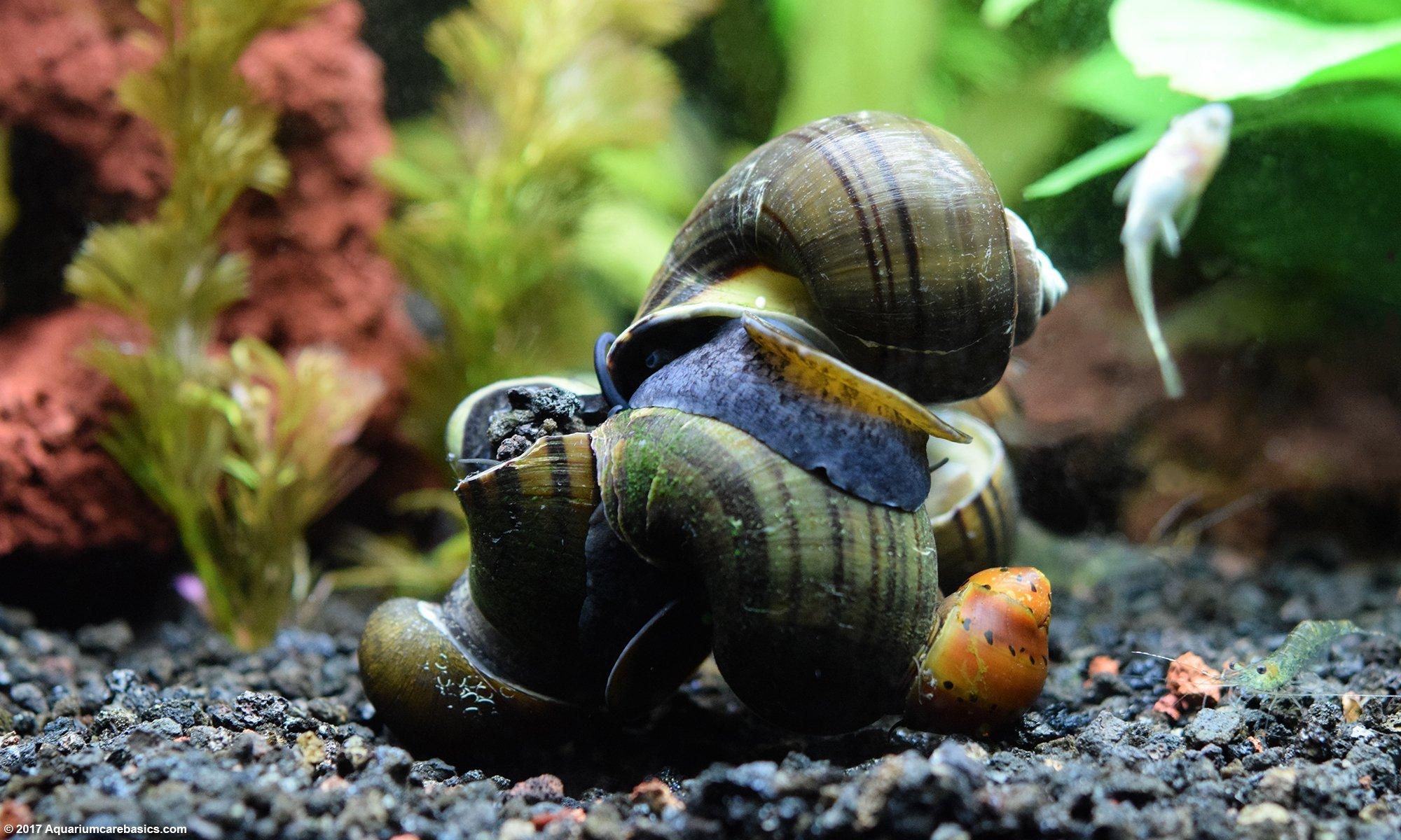 Pond freshwater snails