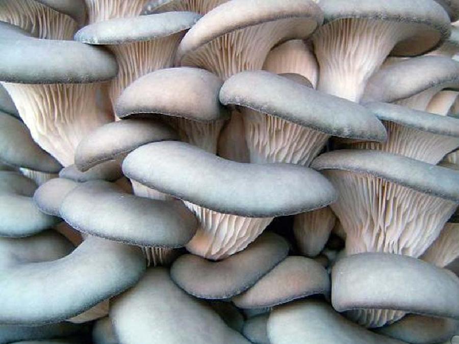 Вырастить грибы в подвале