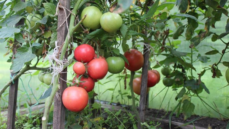 """Раннеспелый, низкорослый, розовый сорт томата """"Пинк буш f1"""""""