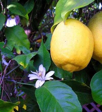 Régime citron détox