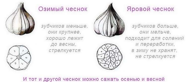 Салатный чеснок выращивание