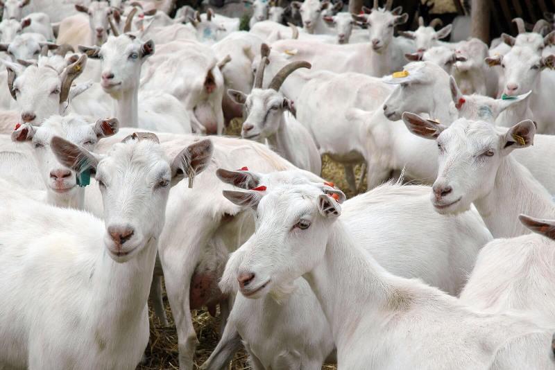 Ферма по разведению коз
