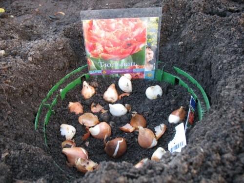 Тюльпаны можно сажать осенью