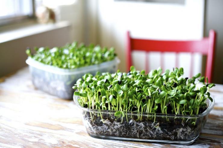 Как выращивать микрозелень дома
