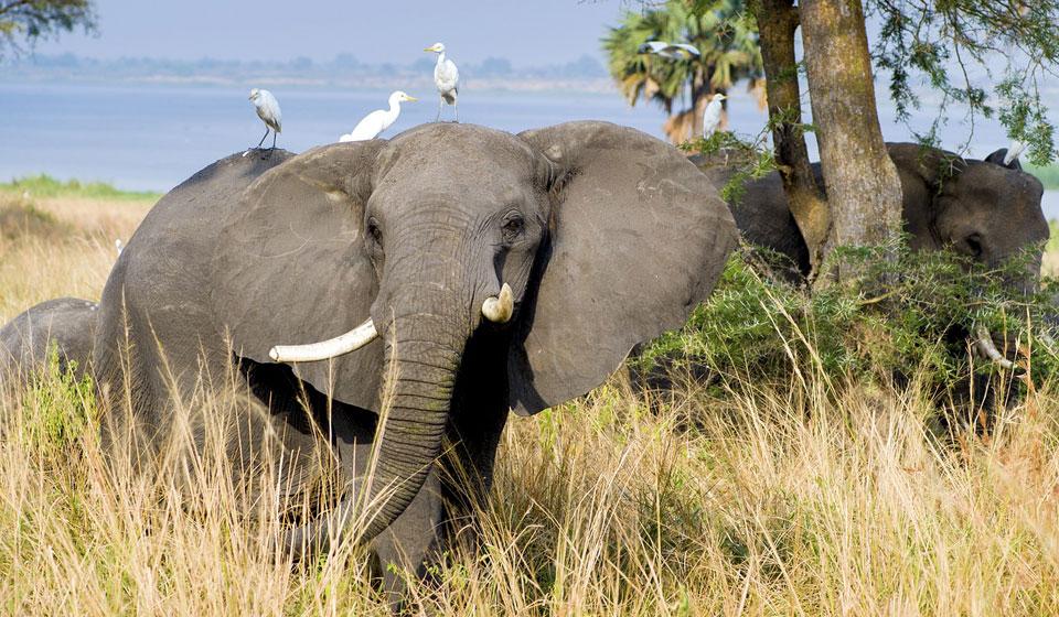 К чему снятся слоны сонник