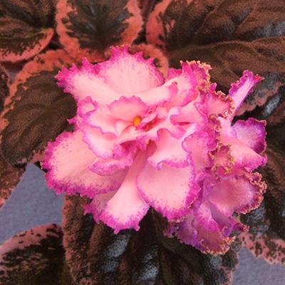 Pink bettles