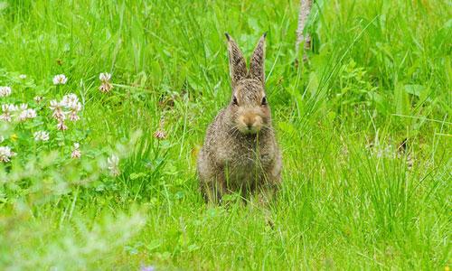 Сонник заяц белый