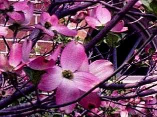 Cornus x rutgersensis stellar pink