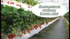 Выращивание клубники бизнес на дому