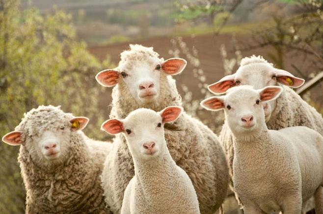 Выгодно ли выращивать овец