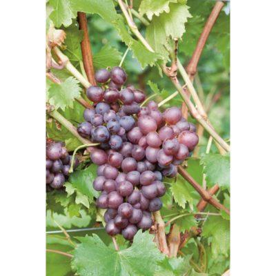 Сорта десертные винограда