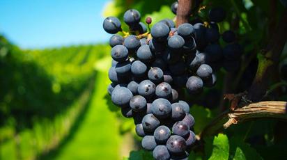 Виноград кишмиш черный: польза и вред
