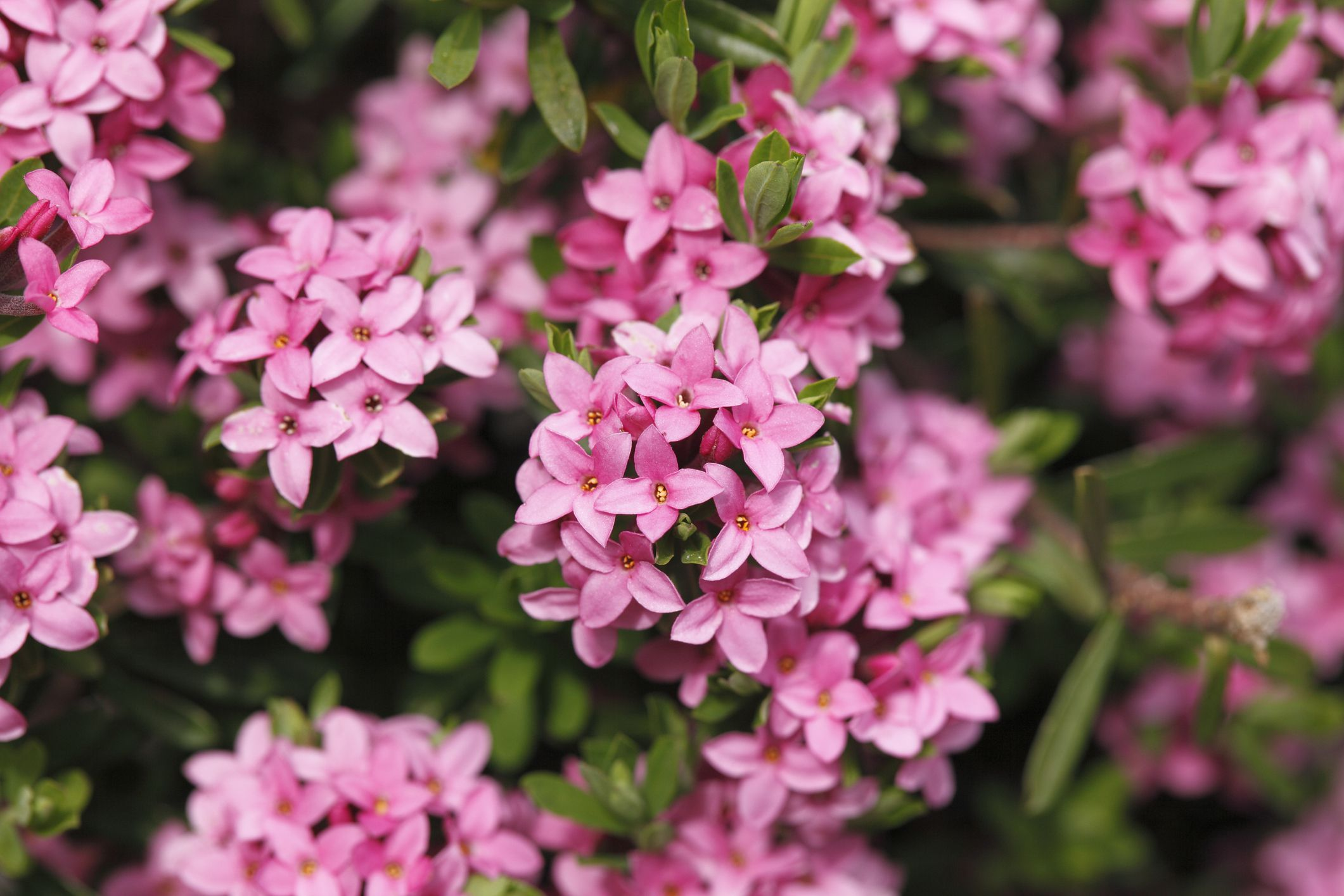 Pink flowering bushes pictures