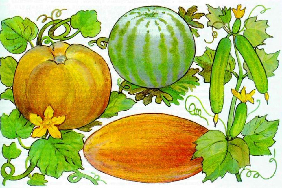 Огурцы это фрукт