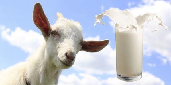 Козьему молоку присуща тонкая и нежная текстура