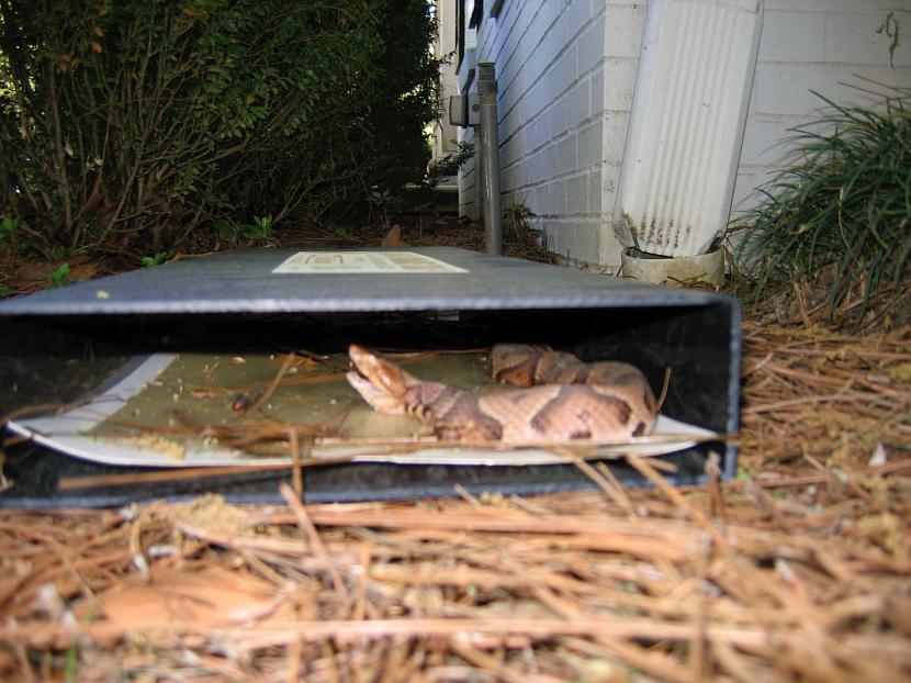 Липучки для ловли змей