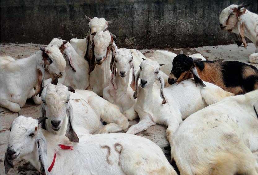 Бизнес план разведения коз