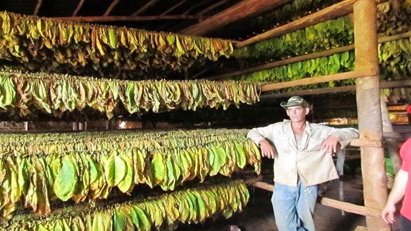 Выгодно ли выращивать табак на продажу