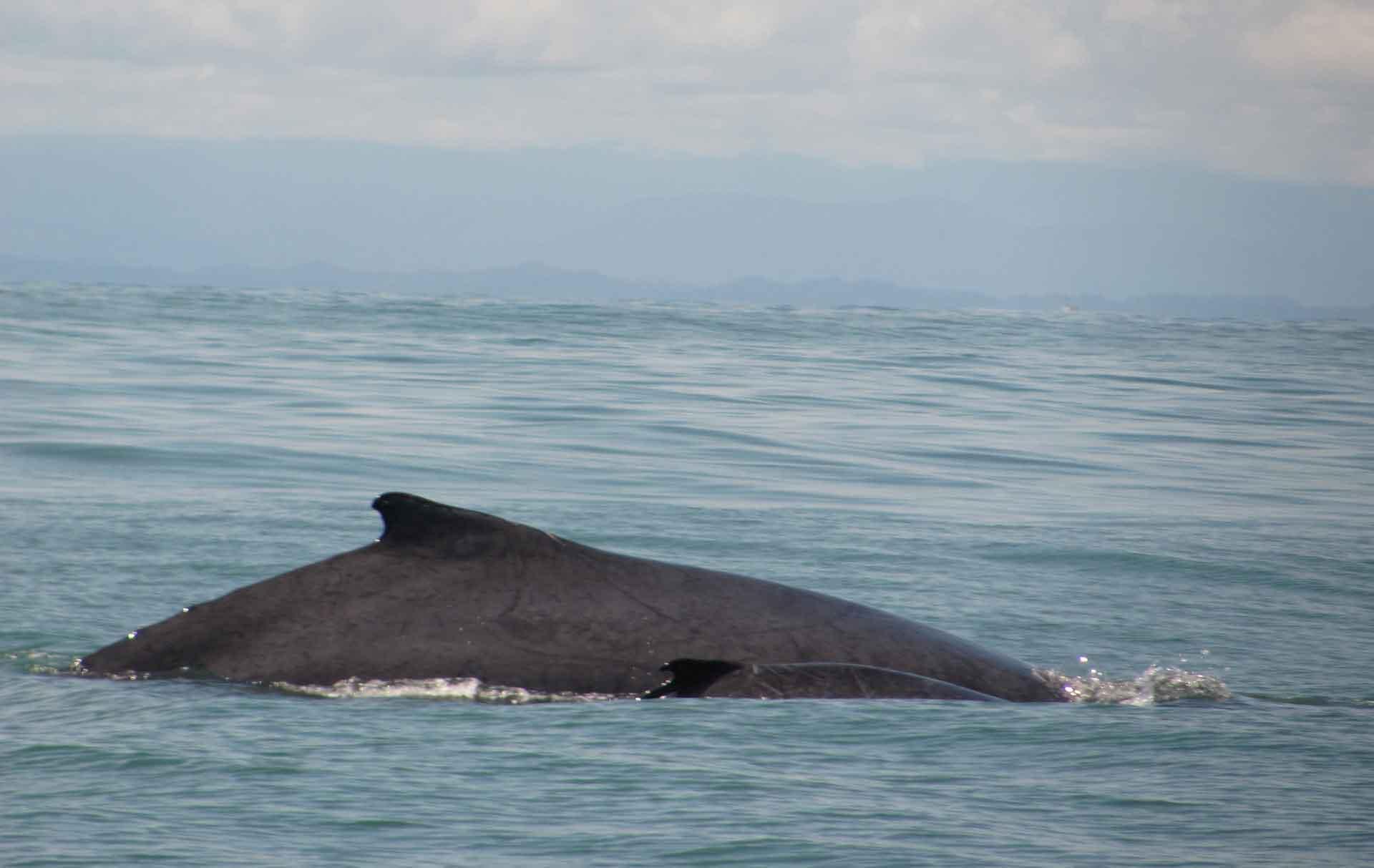 Детеныш синего кита