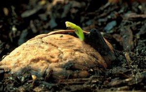 Можно ли вырастить дерево из грецкого ореха