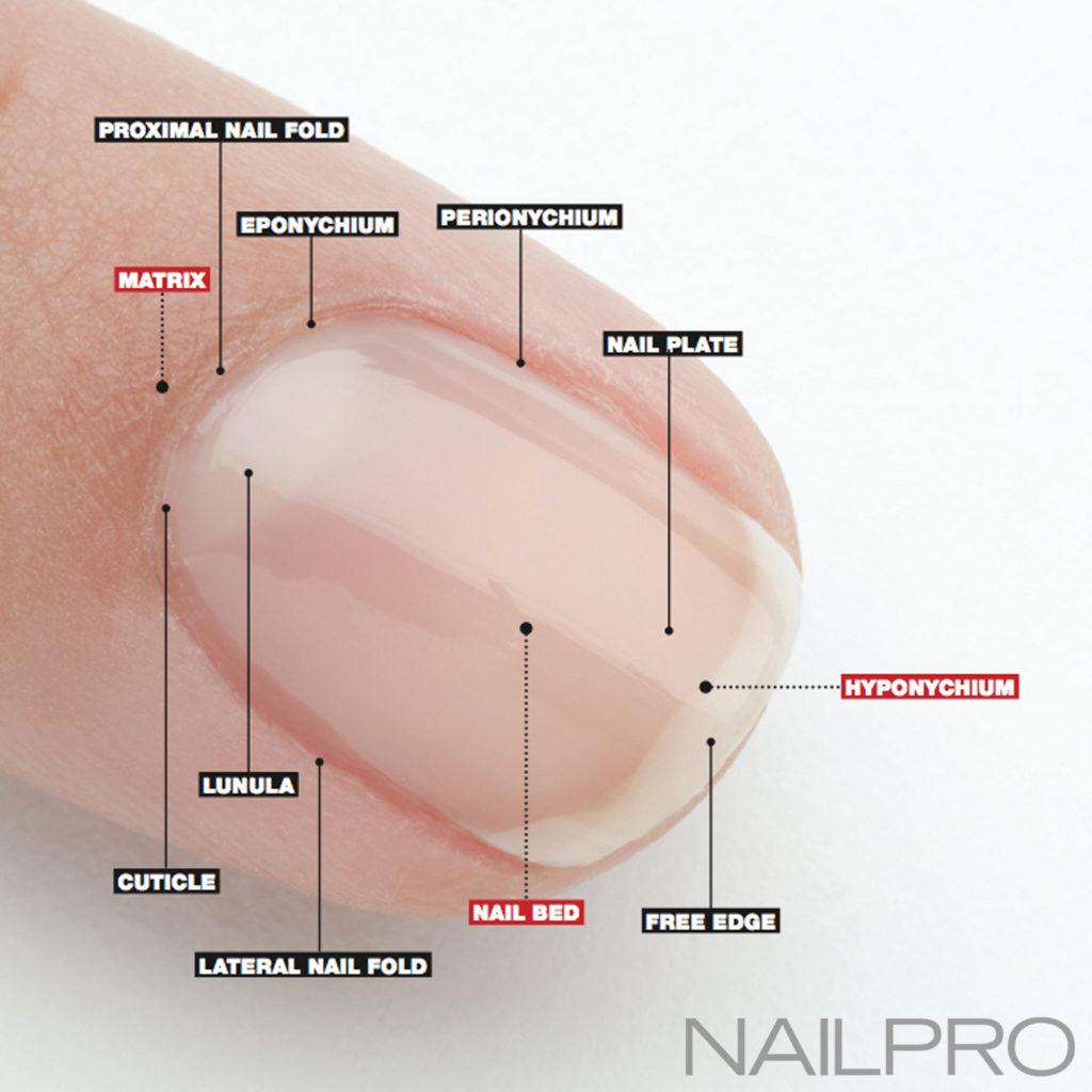 Nails anatomy