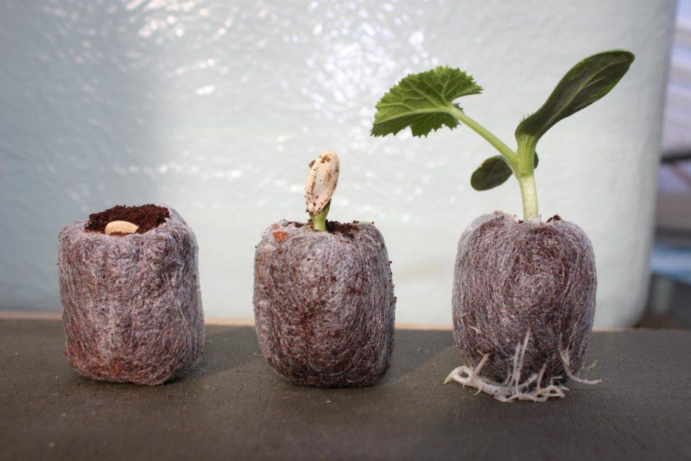 Торфяные таблетки открывают для садоводов широкие возможности в выращивании рассады и значительно упрощают этот процесс.