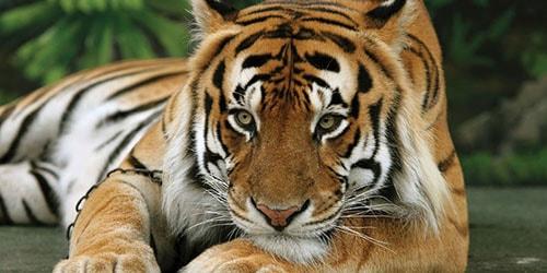 К чему снится добрый тигр