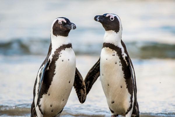 Что говорит пингвин