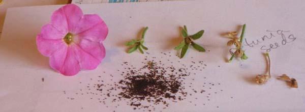 Как в домашних условиях собрать семена петунии