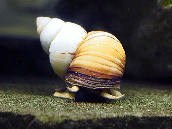 Japanese trapdoor snails for sale uk