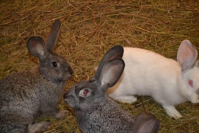 Сколько кроликов нужно для семьи