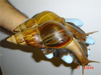 Giant snails in barbados