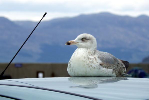 seagull on a car roof, mallaig