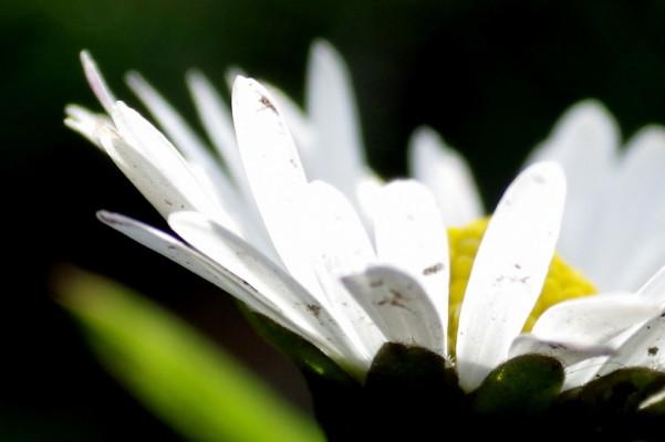 an early daisy