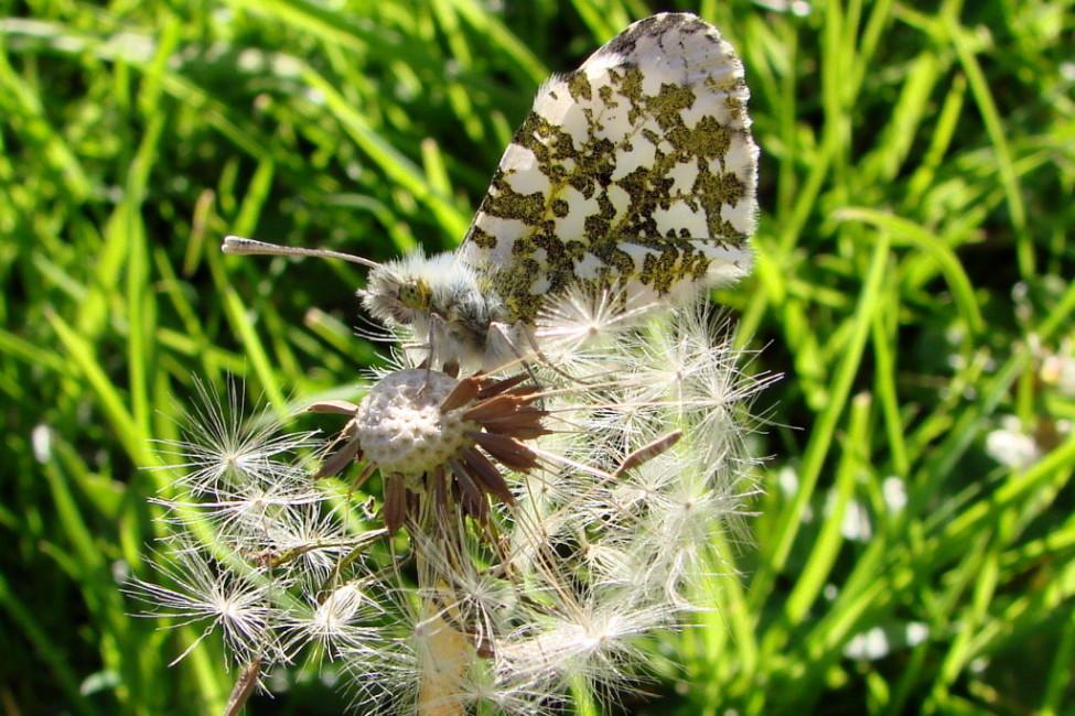 Female Orange-Tip Butterfly on Dandelion