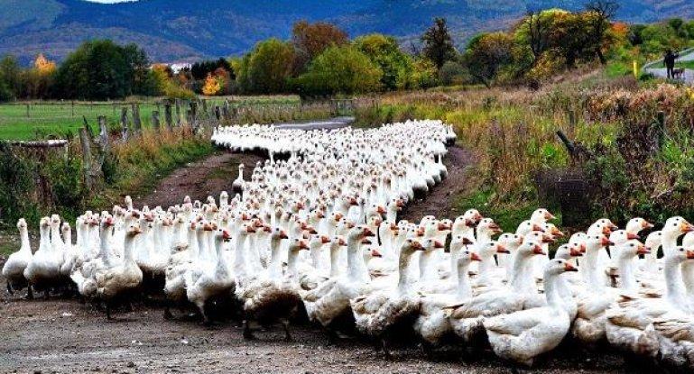 Бизнес план по выращиванию гусей на мясо