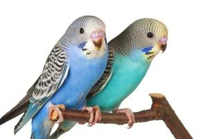 Способы отличить пол волнистых попугаев с помощью характерного поведения и особенностей вида