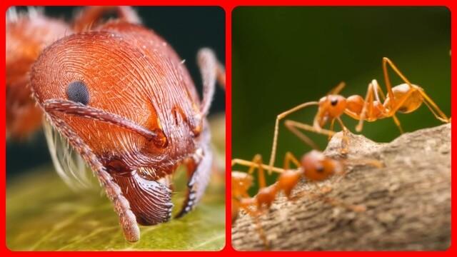Красные мелкие муравьи в квартире как избавиться