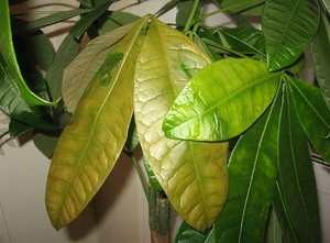 Желтеют листья на комнатных цветах что делать