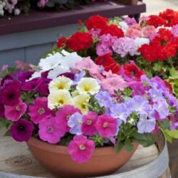 AIREX PETUNIA MIXED WINTER FLOWER SEED (PACK OF 10 SEEDS PER PACKET) Seed (10 per packet)