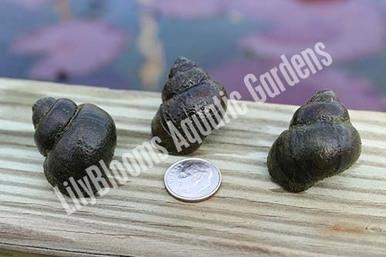 Japanese trapdoor snails aquarium