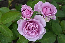 Lavender pink roses